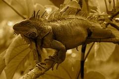 animal, reptile, lizard, macro photography, fauna, close-up, iguana, agamidae, scaled reptile,