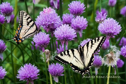 vermont unitedstates barton canadiantigerswallowtail papiliocanadensis canadiantigerswallowtailpapiliocanadensis