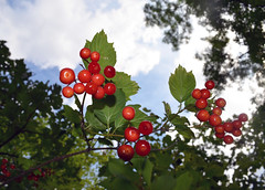 berry, branch, leaf, tree, red, plant, flora, produce, fruit, food, aquifoliales,
