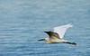 Great egret cruising 1