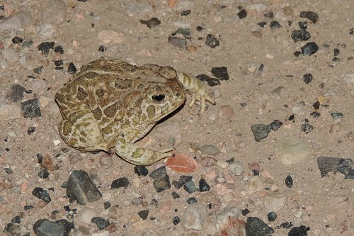 Great Plains Toads (Bufo - or Anaxyrus - cognatus)