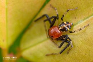 Crab Spider (Camaricus maugei) - DSC_3396