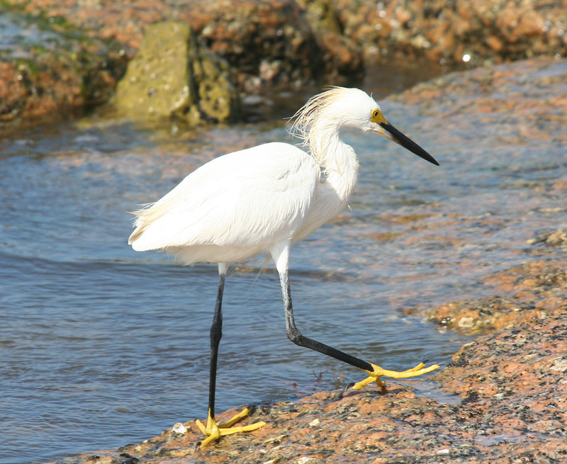 Snowy Egret, Adult in Breeding Plumage