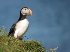 animal, puffin, charadriiformes, fauna, beak, bird, wildlife,