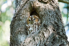 Tawny owl in the forest outside my home