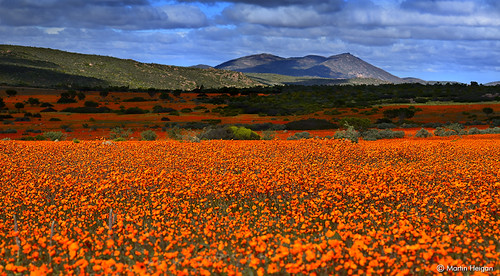 africa flowers orange flower nature daisies landscape southafrica nationalpark nikon desert martin flowering wildflowers habitat skilpad blooming southernafrica dimorphotheca sinuata noplacelikehome kamieskroon namaqua heigan namakwa mhsetslandscape mph9141 mhroadtrip2014