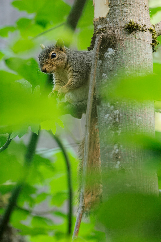 An eastern fox squirrel in a tree