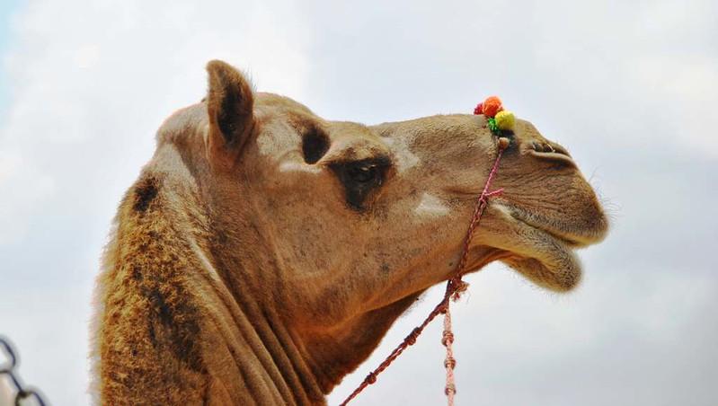 328 Camel safari a Jaisalmer (5)