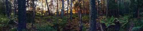 Sunrise in the Maine woods