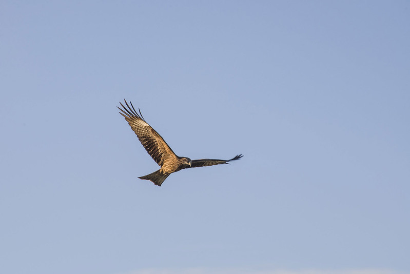 Mongolian hawk