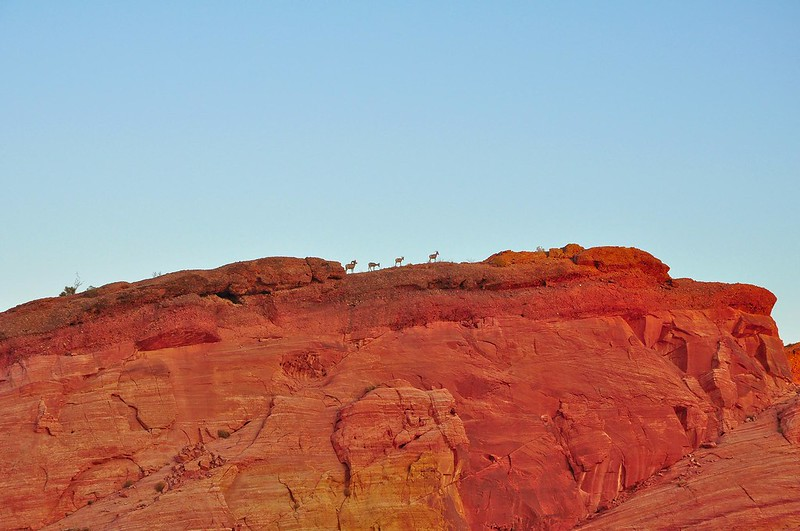 Bighorn Sheeps - Valley of fire State Park