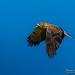 Hawk on Blue