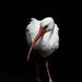 ibis in the spotlight