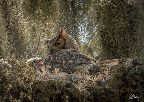 Great Horned Mother sits with her chick