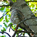 Small photo of Little Sparrowhawk (Accipiter minullus) immature