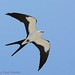 Swallow-tailed Kite in flight - Elanoides forficatus by Paul Hueber