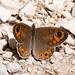 Large Wall Brown - Photo (c) Paul Asman and Jill Lenoble, some rights reserved (CC BY)