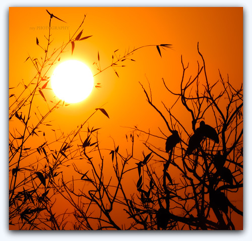 trees sunset sun nature silhouette evening bambootree asianopenbillstorks nikoncoolpixp520 tripuraindia