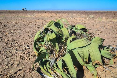 La welwitschia, un survivant du désert