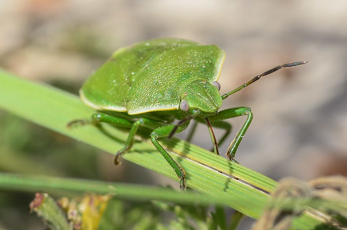 <p><i>Chlorochroa</i> sp., Pentatomidae<br /> Ferry Point Landing, Alberta, Canada<br /> Nikon D5100, 105 mm f/2.8<br /> June 22, 2014</p>