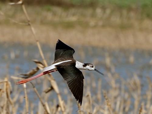 Échasse blanche Himantopus himantopus - Black-winged Stilt