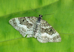 1738 Common Carpet - Epirrhoe alternata