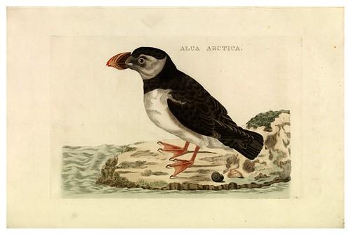 003-Alca artica- Nederlandsche vogelen- Nationale bibliotheek van Nederland