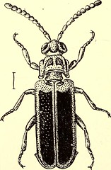 """Image from page 471 of """"Coleoptera : general introduction and Cicindelidae and Paussidae"""" (1912)"""