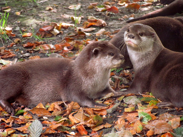two adorable mid-brown river otters lazing about in autumnal leaves