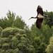 Cigogne noire juvénile