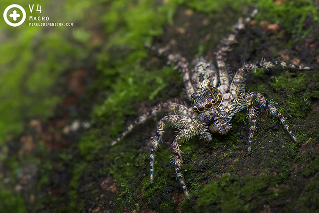 Phaecius malayensis ♀- Malayan Tree Trunk Jumper