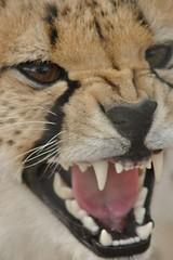 SOUTH AFRICA - Thornybush & Hongonyi Reserves