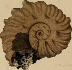 "Image from page 265 of ""A pictorial atlas of fossil remains, consisting of coloured illustrations selected from Parkinson's ""Organic remains of a former world,"" and Artis's ""Antediluvian phytology."""" (1850)"