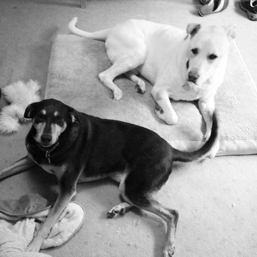 My boys say Good Morning IG! #dogstagram #instadog #rescued #coonhoundmix #labmix #ilovebigmutts #love #seniordog #ilovemyseniordog #ilovemydogs #brothers #mybabies