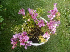 lily, shrub, flower, garden, plant, lilac, herb, wildflower, flora,