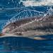 Delfín pintado - Atlantic Spotted dolphin