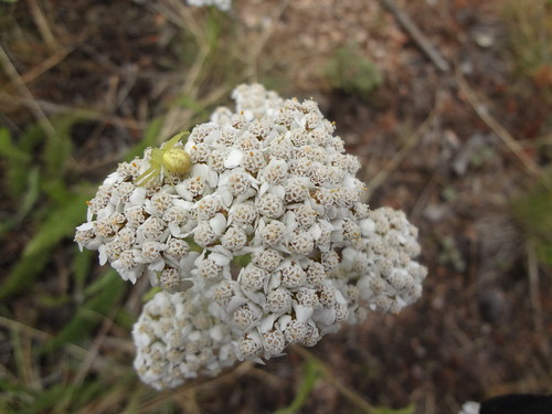 Yarrow with crab spider