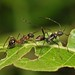 Small photo of Ant-mimic assassin bug (Alydidae)
