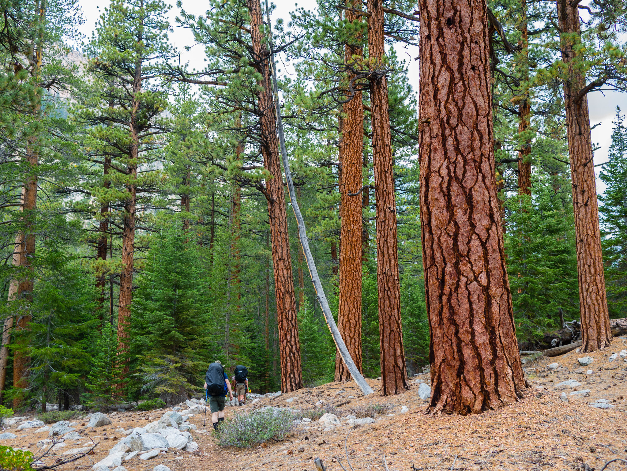 Open forest in Kern Canyon
