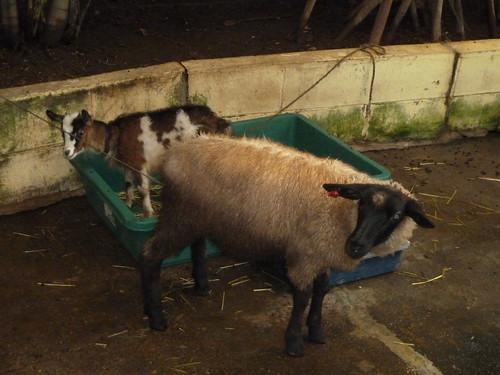 ヤギと羊@草津熱帯圏
