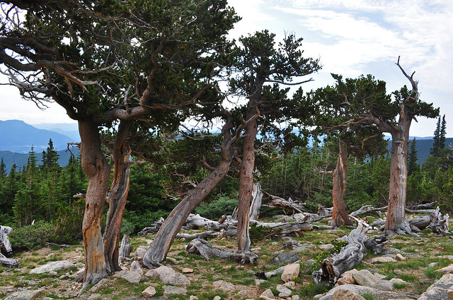 Pinus aristata - Mt. Goliath Natural Area (39)