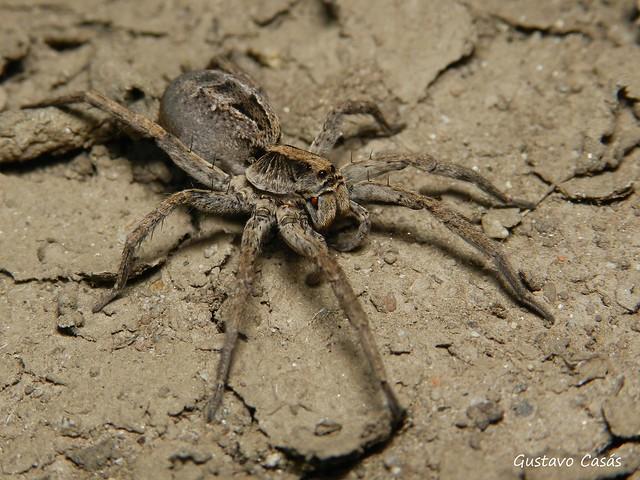 Araña Lobo (Schizocosa malitiosa)