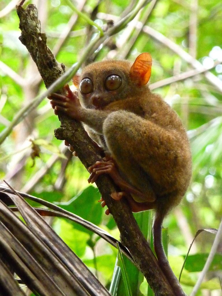 tarsier-endémique-philippines