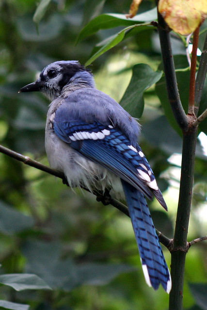 Blue Jay_9957 from Flickr via Wylio