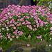 Bryant Park Petunia
