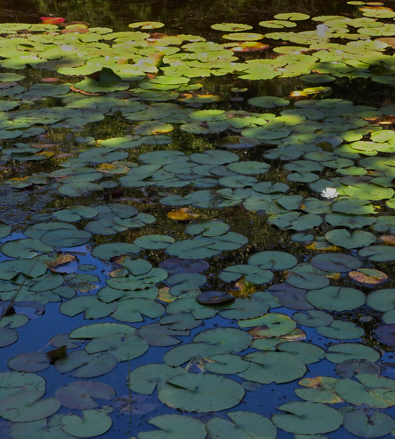 lily pads at Ipswich Wildlife Sanctuary with Greg (2014)