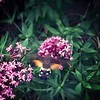 Spotted this amazing hummingbird moth on my way home.