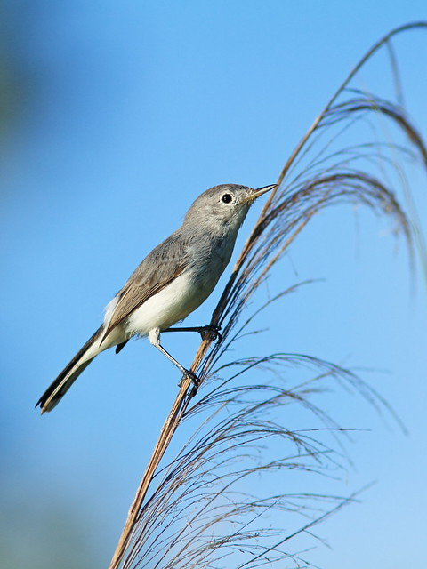 Blue-gray Gnatcatcher 5-20140905