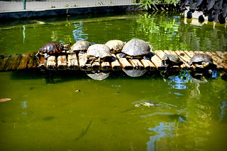Turtles on a wooden path in botanical garden