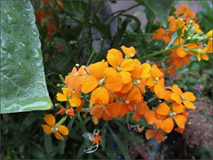 Orange wallflowers